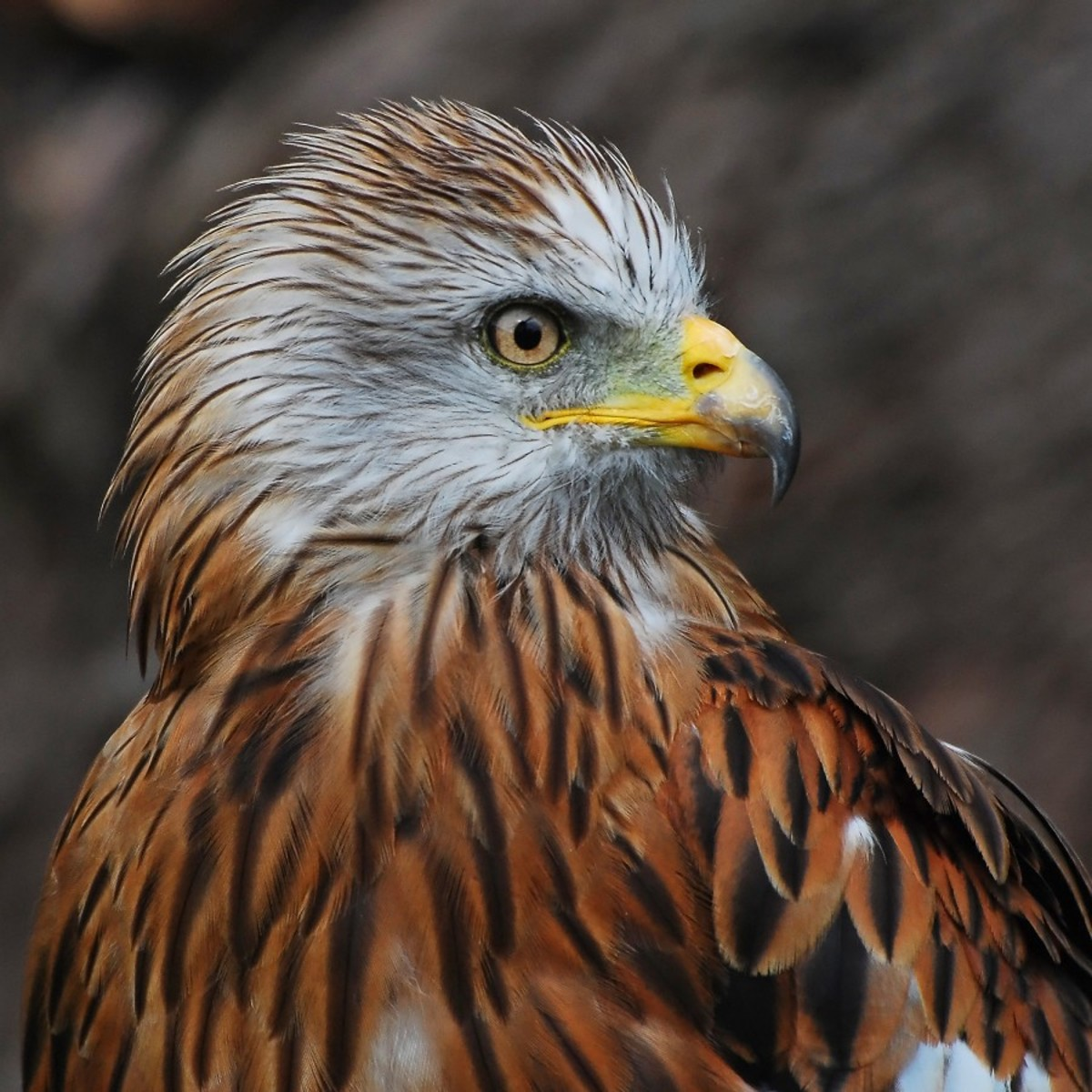 The red kite's beautiful colors flickr.com