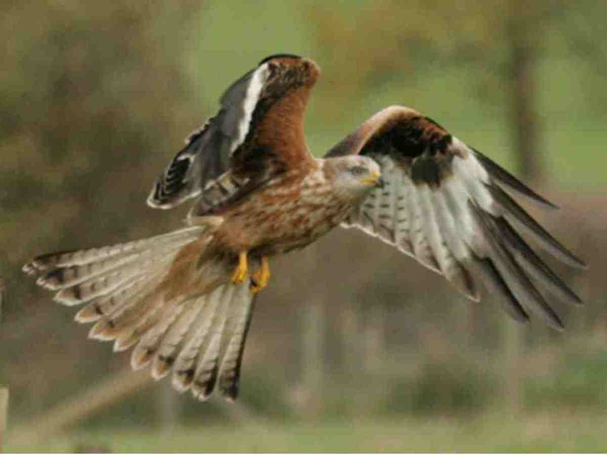 Red Kites The Most Majestic And Beautiful Birds Of Prey