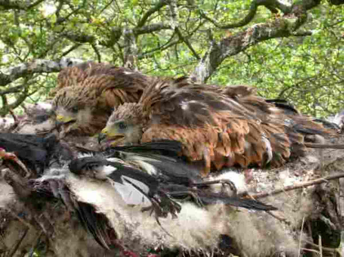 Red Kite Chicks In Nest Beautiful photo taken by Tony Cross shropshirebirds.com