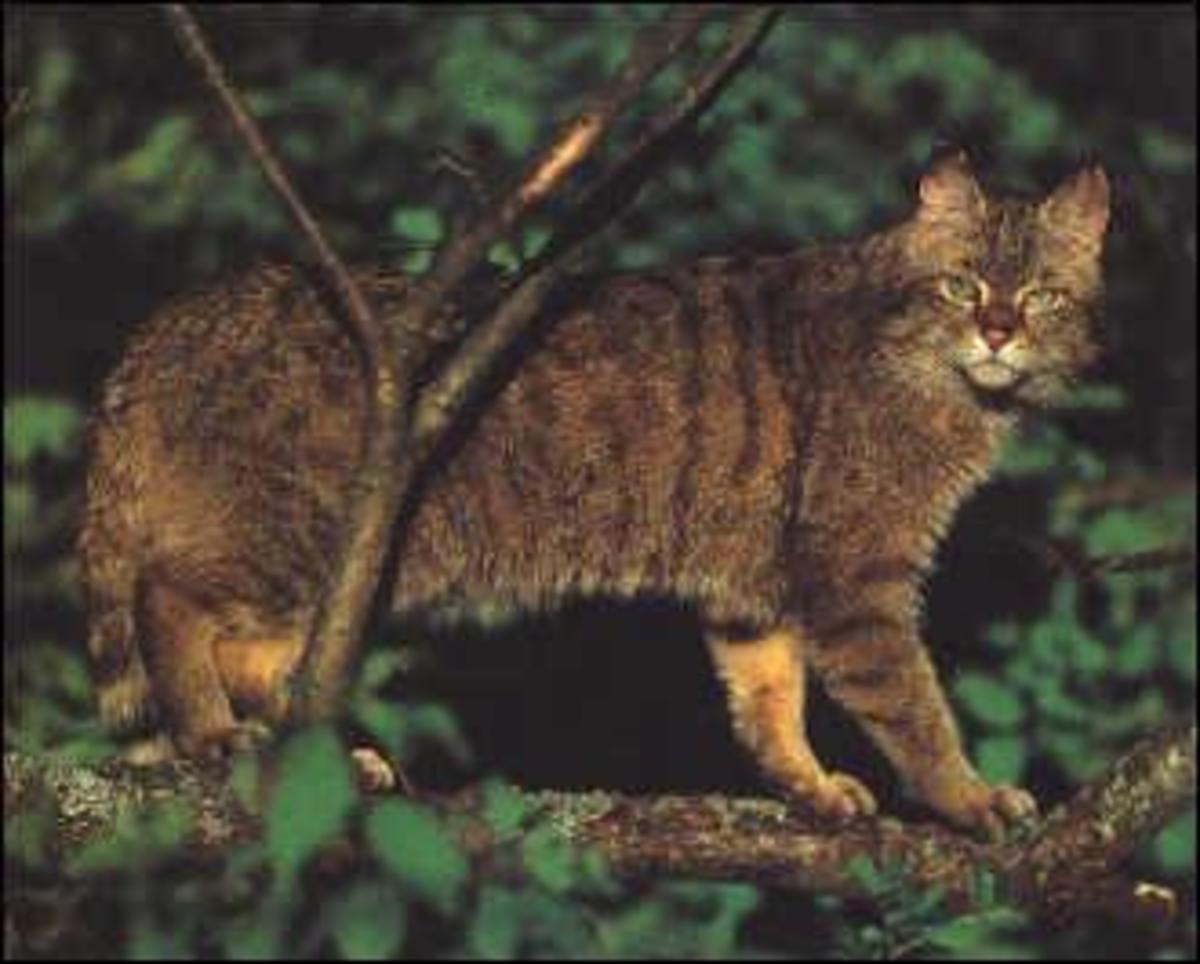 Like Domestic Cats, Wildcats will readily climb trees.