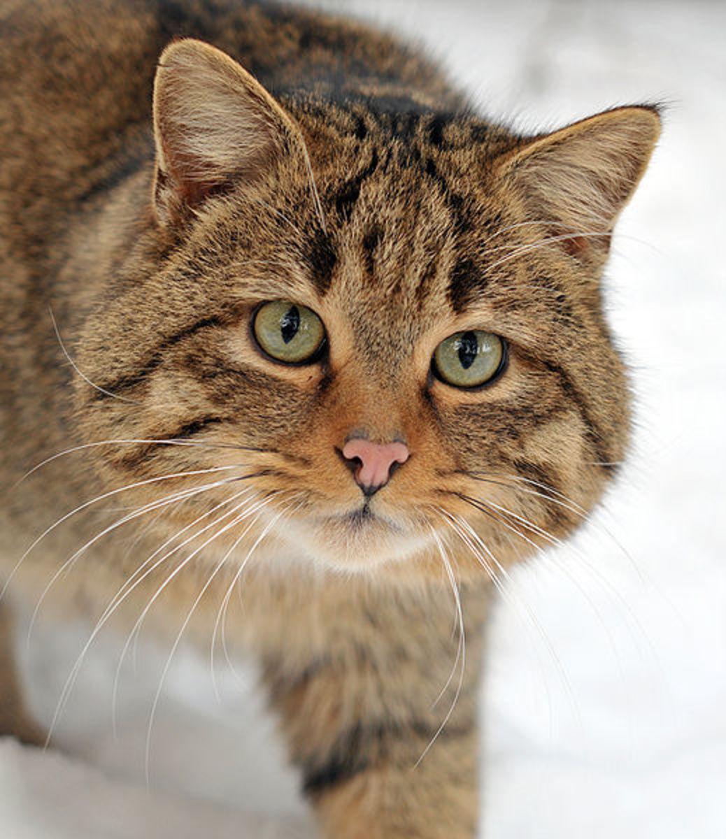 the-wildcat