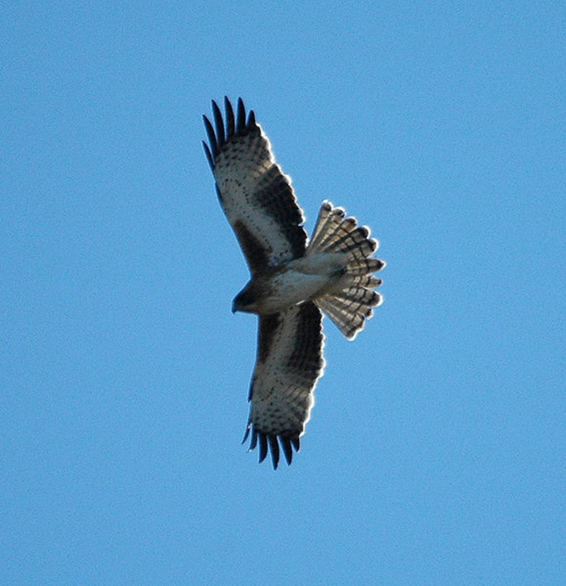 The little eagle