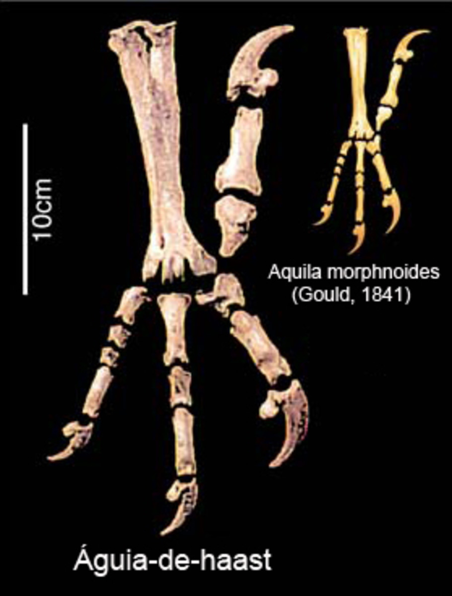 The giant eagle's foot and talons alongside those of the little eagle.
