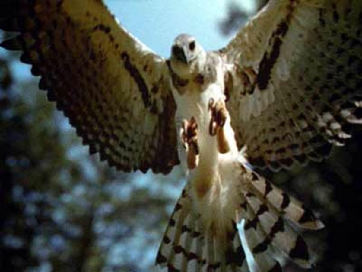 the-giant-eagle