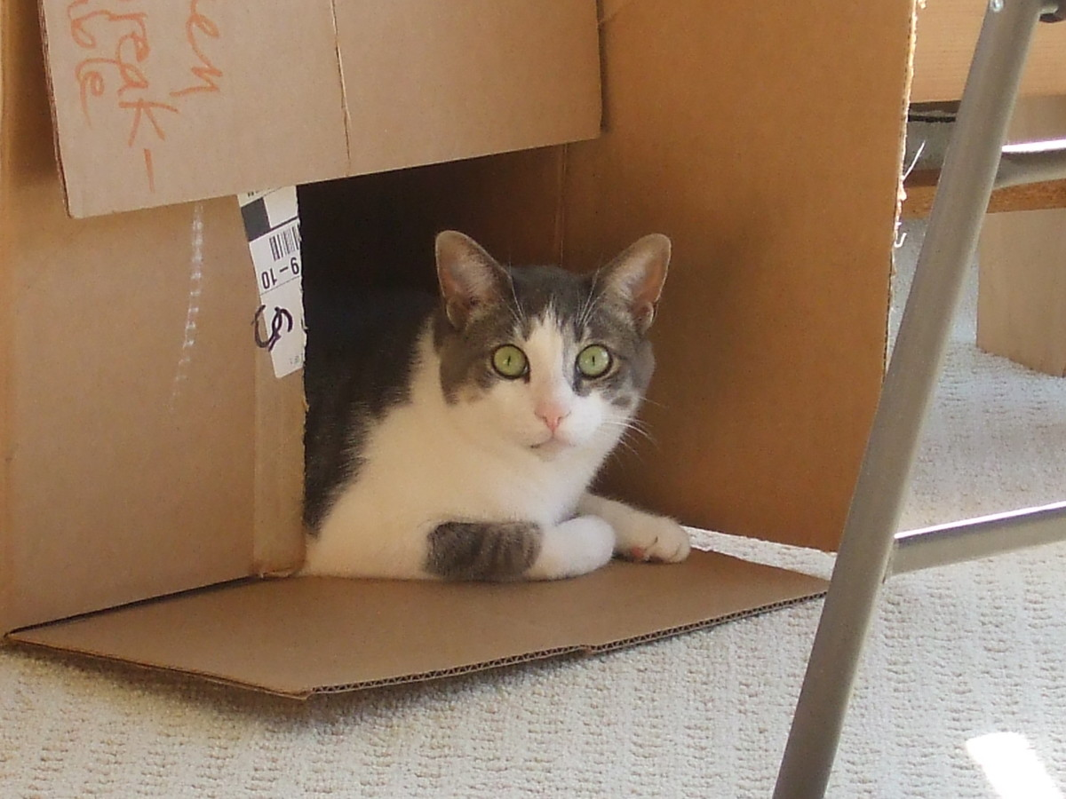 This is our wonderful Sammy who found the large empty box to be eminently suitable for hiding and spying.