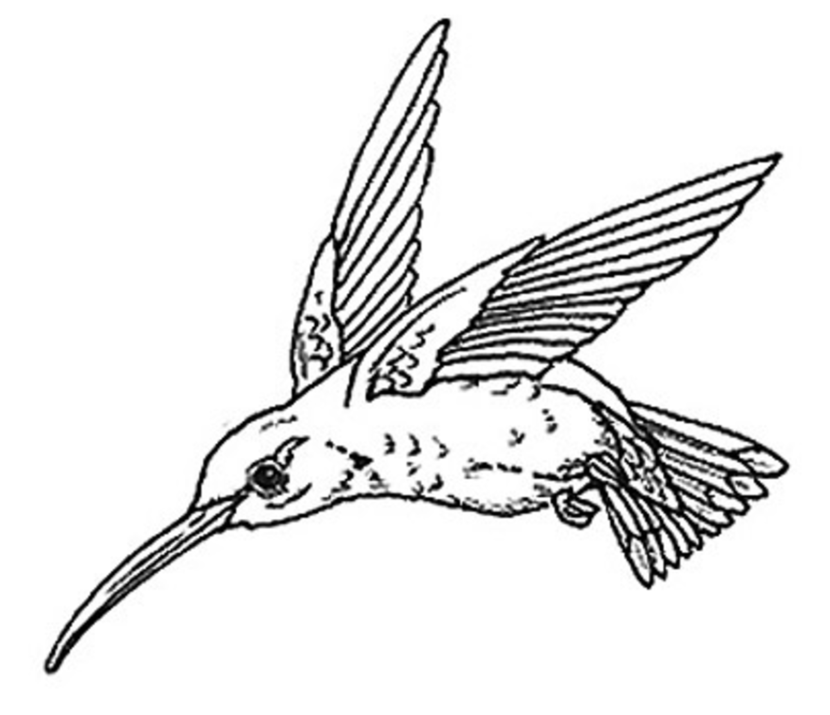 Colouring Pages Kookaburra : Free online pictures of birds to color for adults and kids hubpages
