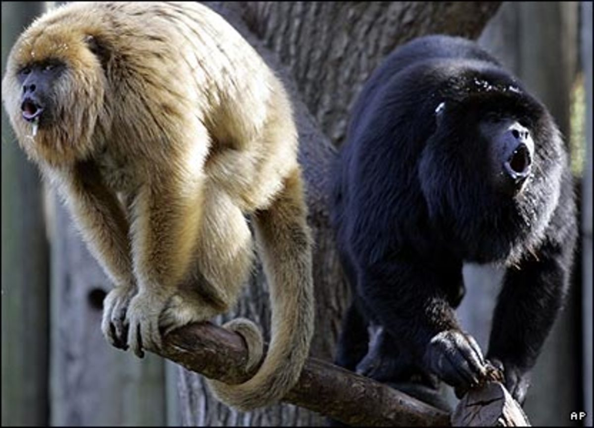 Vocalizing: Black Howlers Monkeys routinely emit loud cacophonous cries that are heard three km away.
