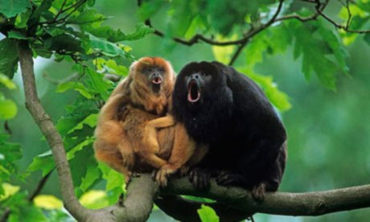 Family of Black Howlers: Black Howler Monkeys are very social creatures that live together in small groups.