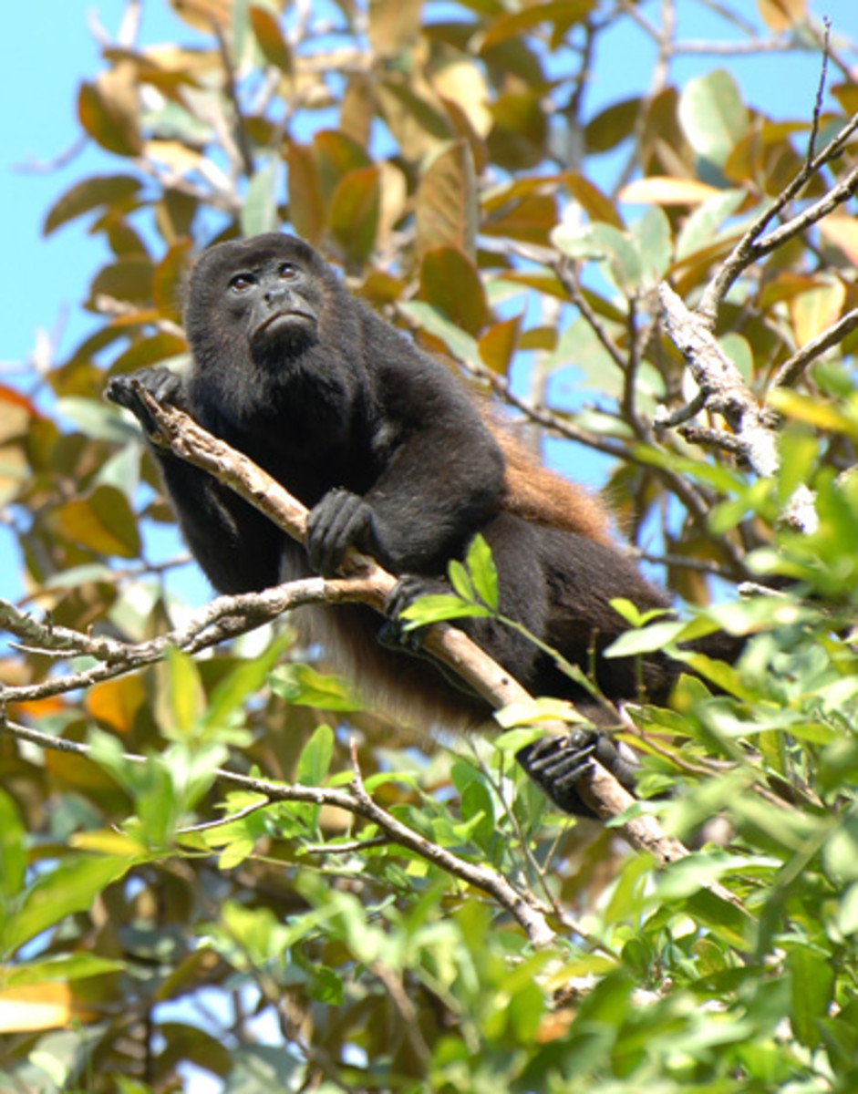 The Black Howler Monkey prefers living on treetops and seldom comes down, only when there is a possible water shortage.