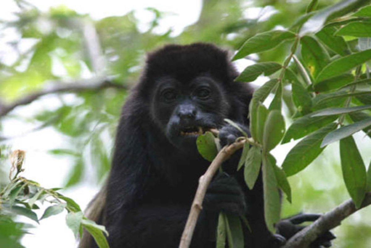 The Black Howler monkey is strictly vegetarians. They love eating succulent leaves on the dense treetops.