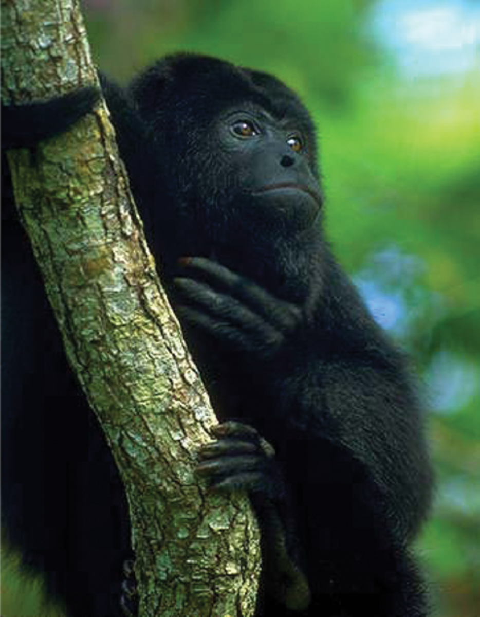 The Black Howler Monkey | Habitat, Feeding Habits and More