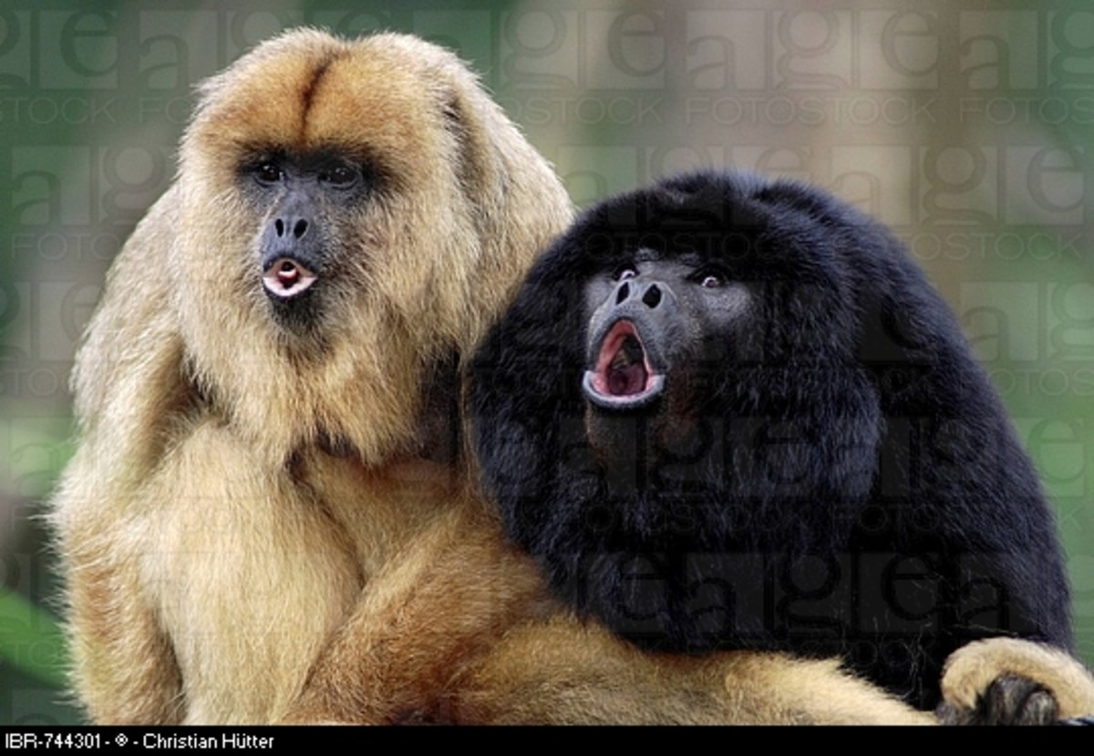 The male and female black howler monkeys are very easy to tell apart. The females have distinct yellow-brown fur. It is only the males that match their name 'black howler monkey' because of their full black color.