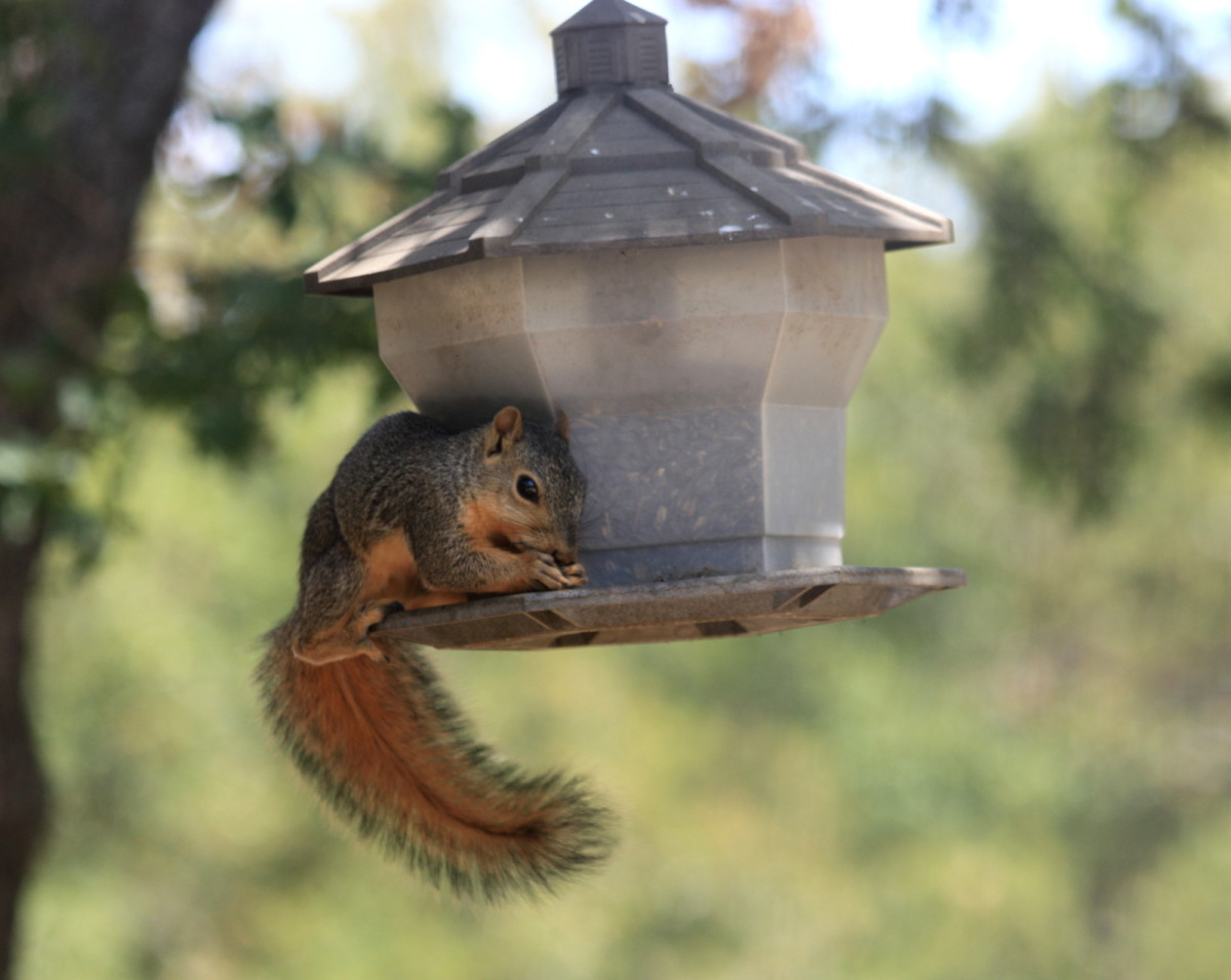 How You Can Squirrel Proof Your Hanging Bird Feeder