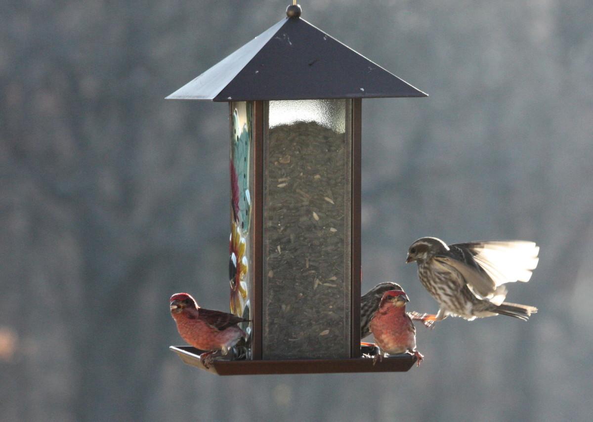 Purple house finch on my bird feeder.