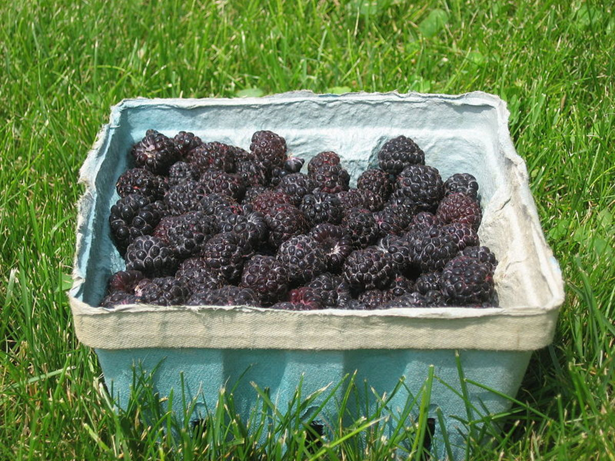 raspberry-fruit-and-its-health-benefits