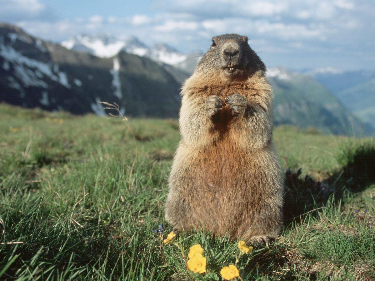 Alpine Marmot Hohe Tauern National Park Austria