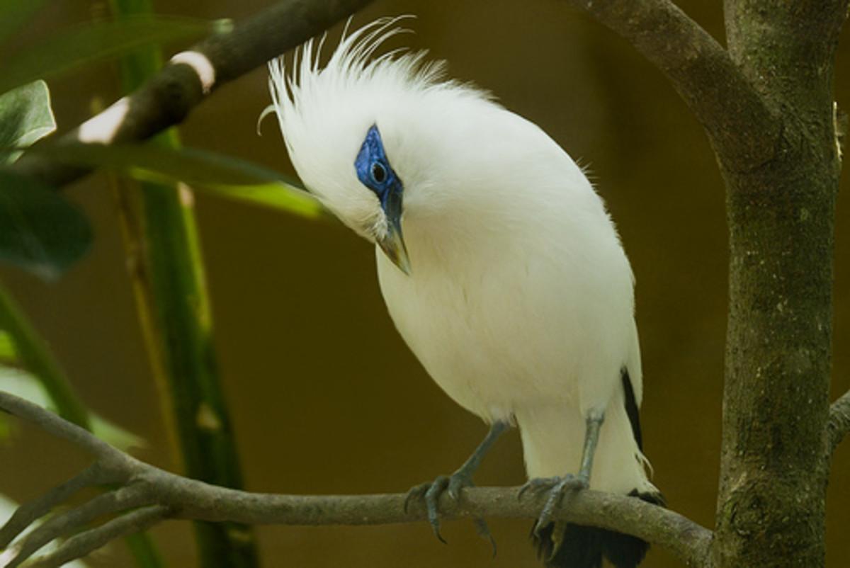 The beautiful Bali Starling (Leucopsar rothschildi)