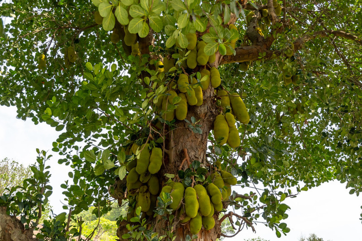 Jack fruit tree with sticky sap used by farmer to trap Sang Kancil