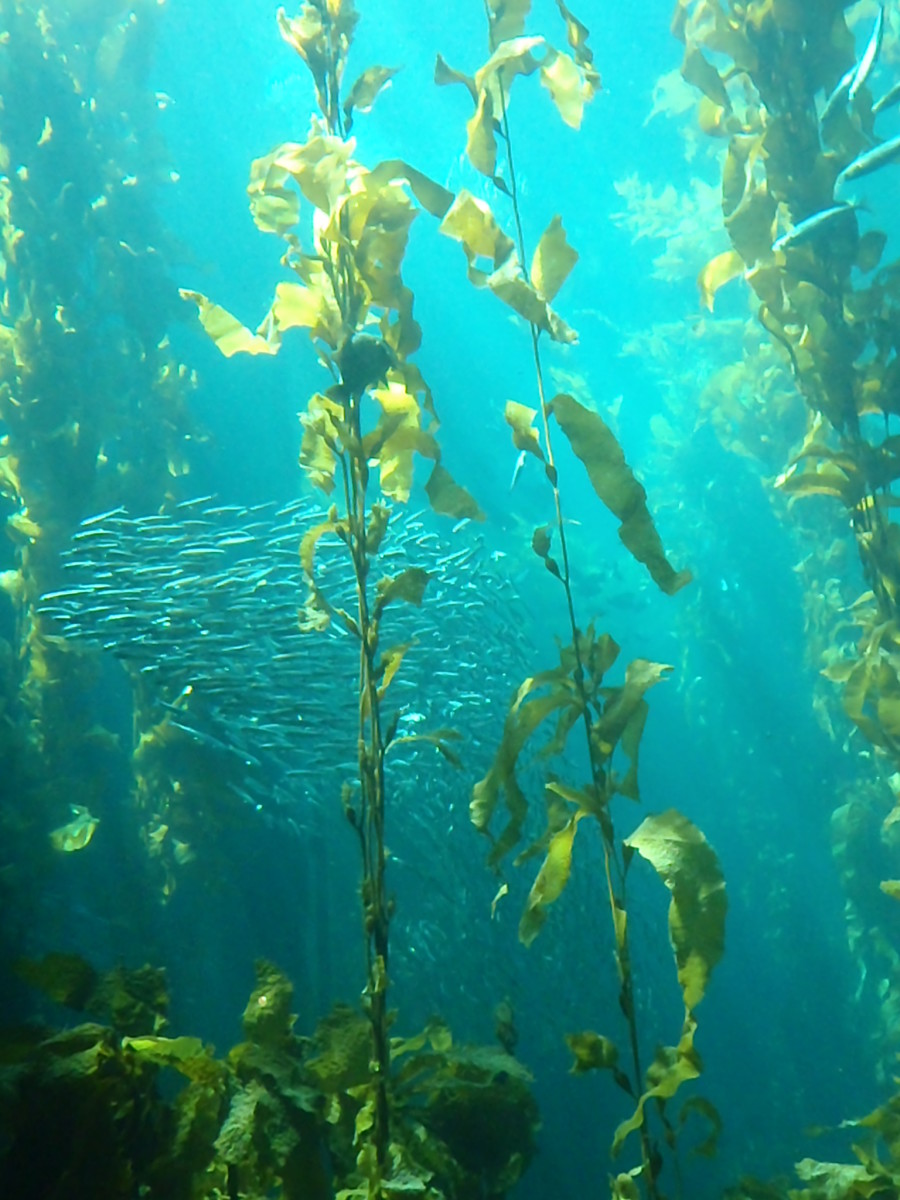 The Kelp Forest at the Monterey Bay Aquarium.