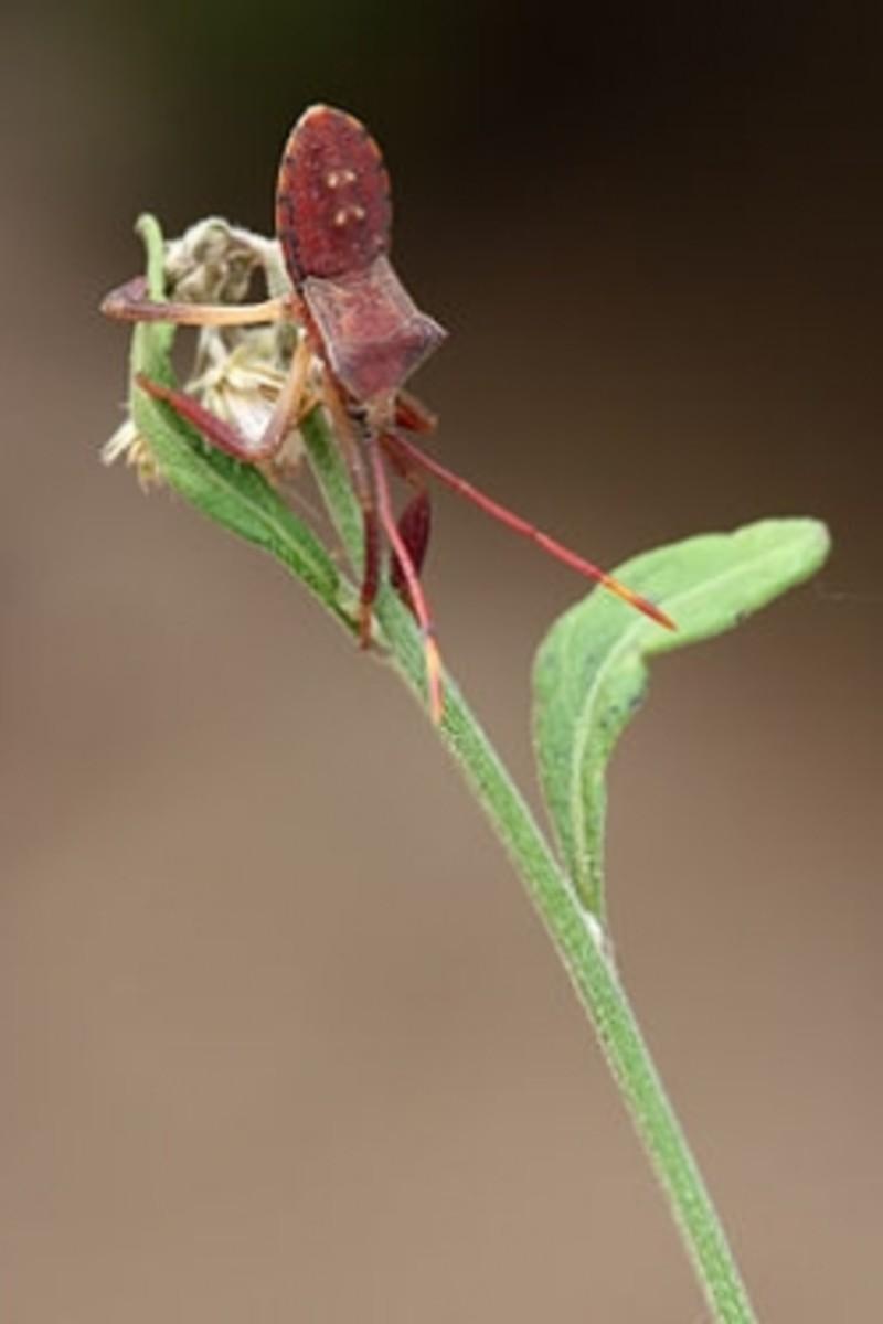 Squash Bug Identification and Control
