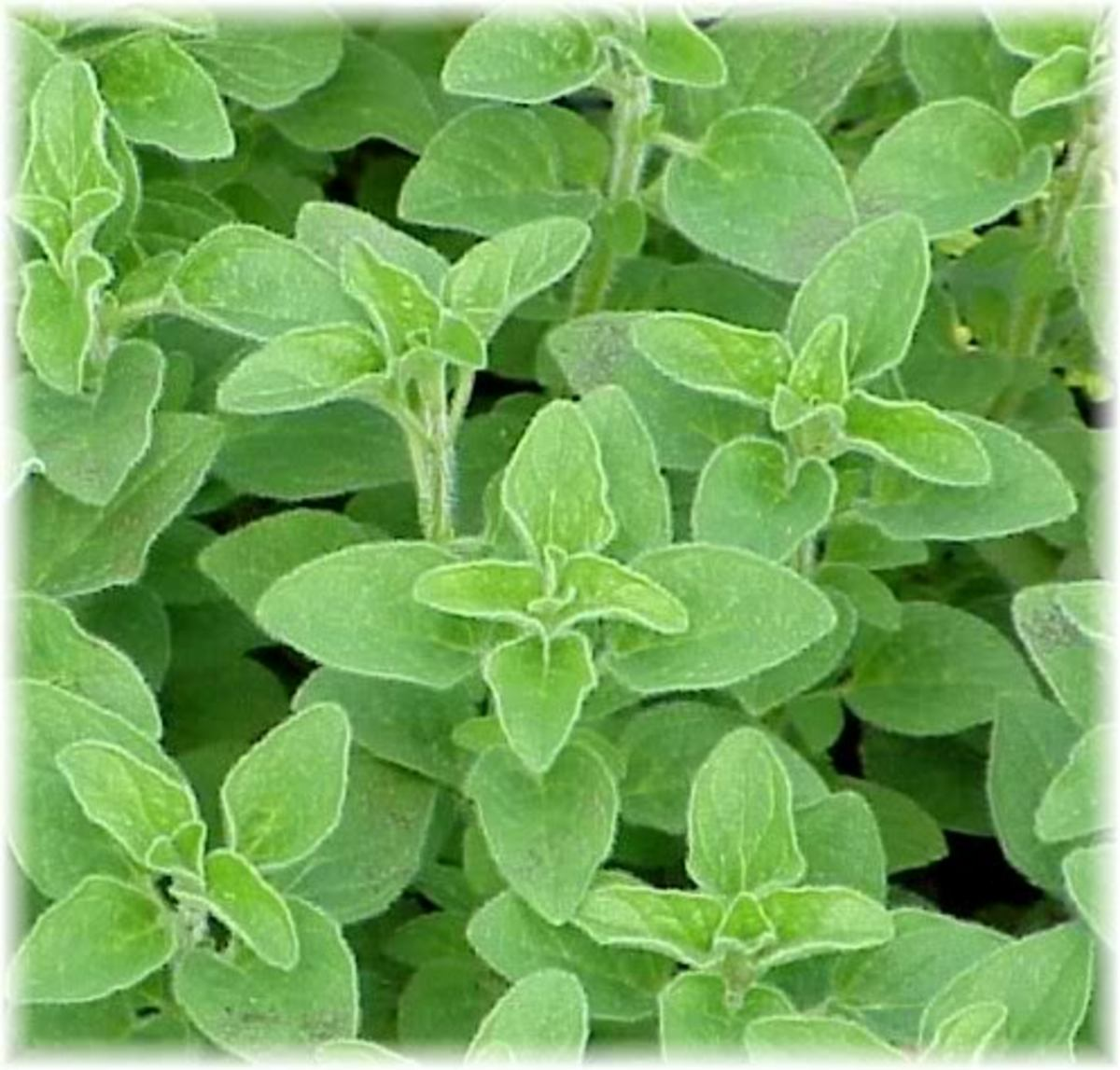 The herb Oregano which is quite successful in treating MRSA