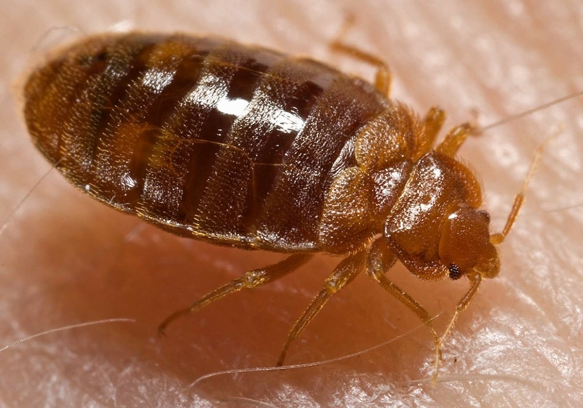 Bed Bug - prime carrier of MRSA