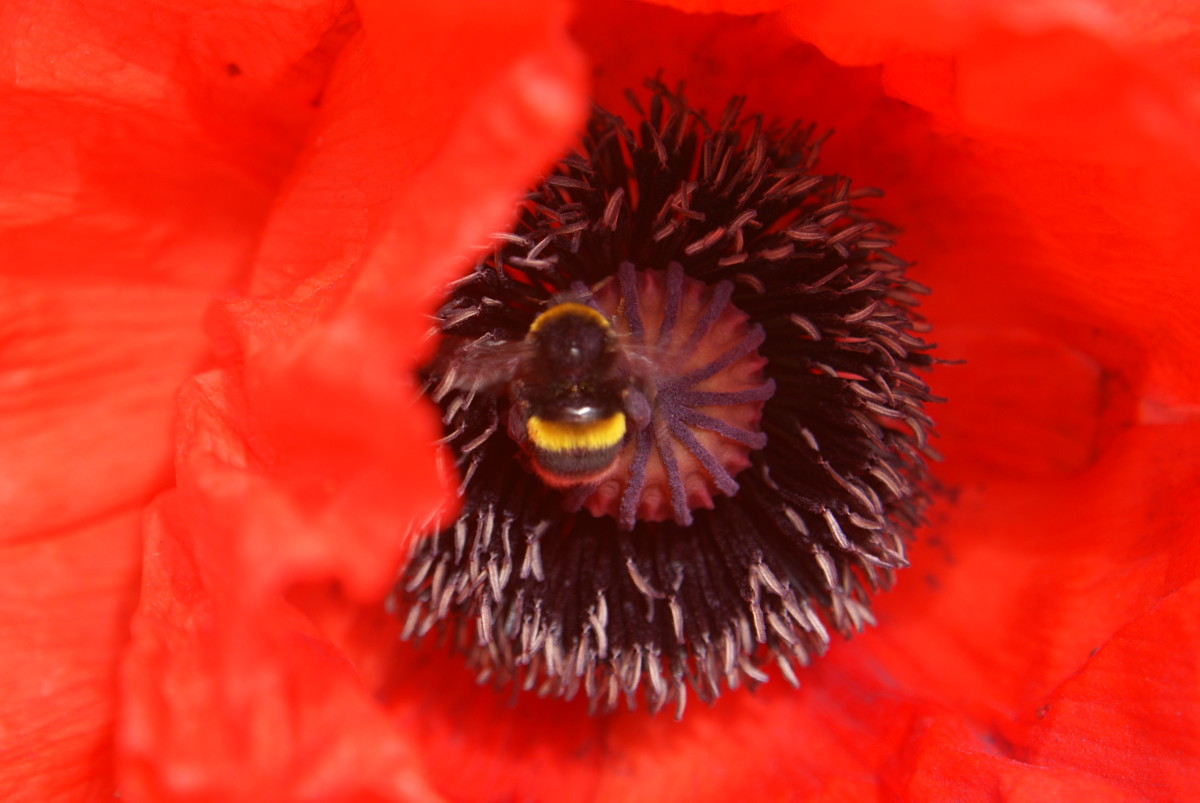 The Bees like the Poppies too