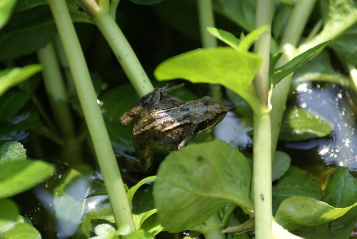 Just a few shots of the froggies in my pond