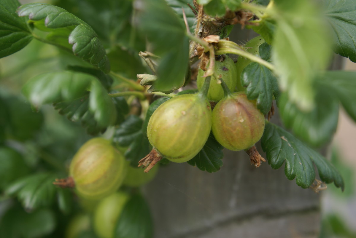 Gorgeous Gooseberries