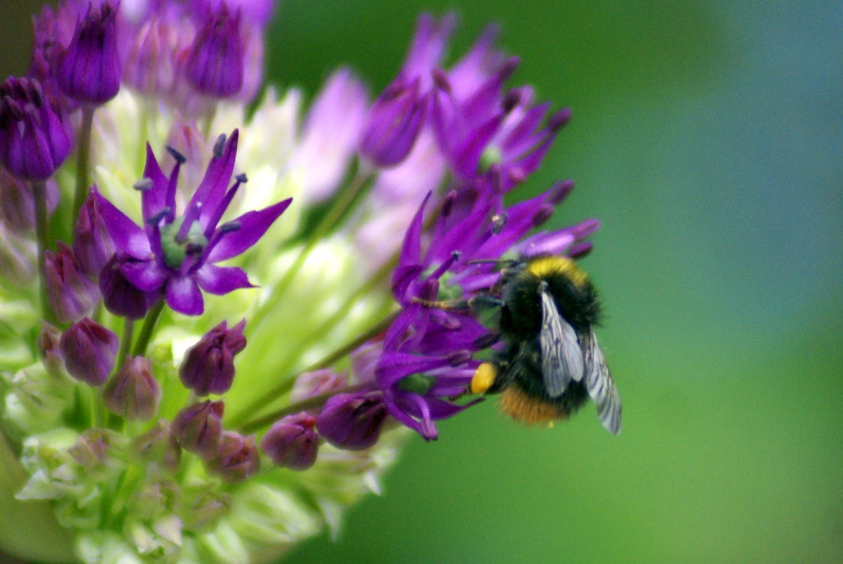 Love this shot - you can even see the pollen on the legs of the bee
