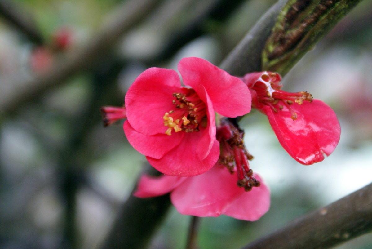 Pink Ornamental Quince Blossom