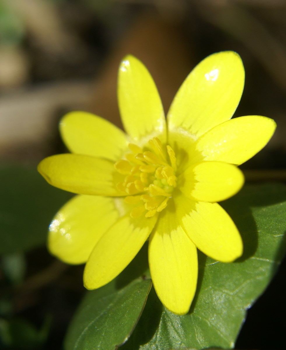 Such a glossy bright yellow flower - if you know what this is called please let me know