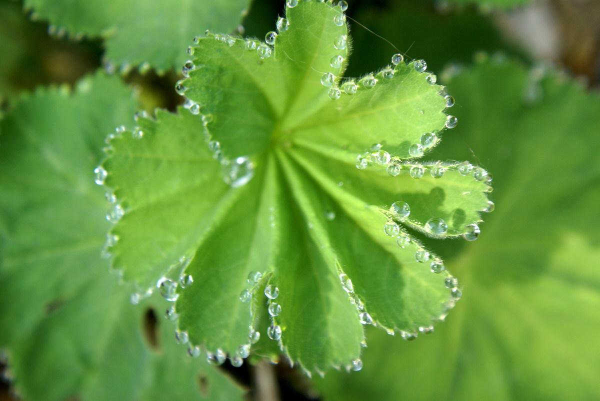Dew Drops on the Achemilla Mollis