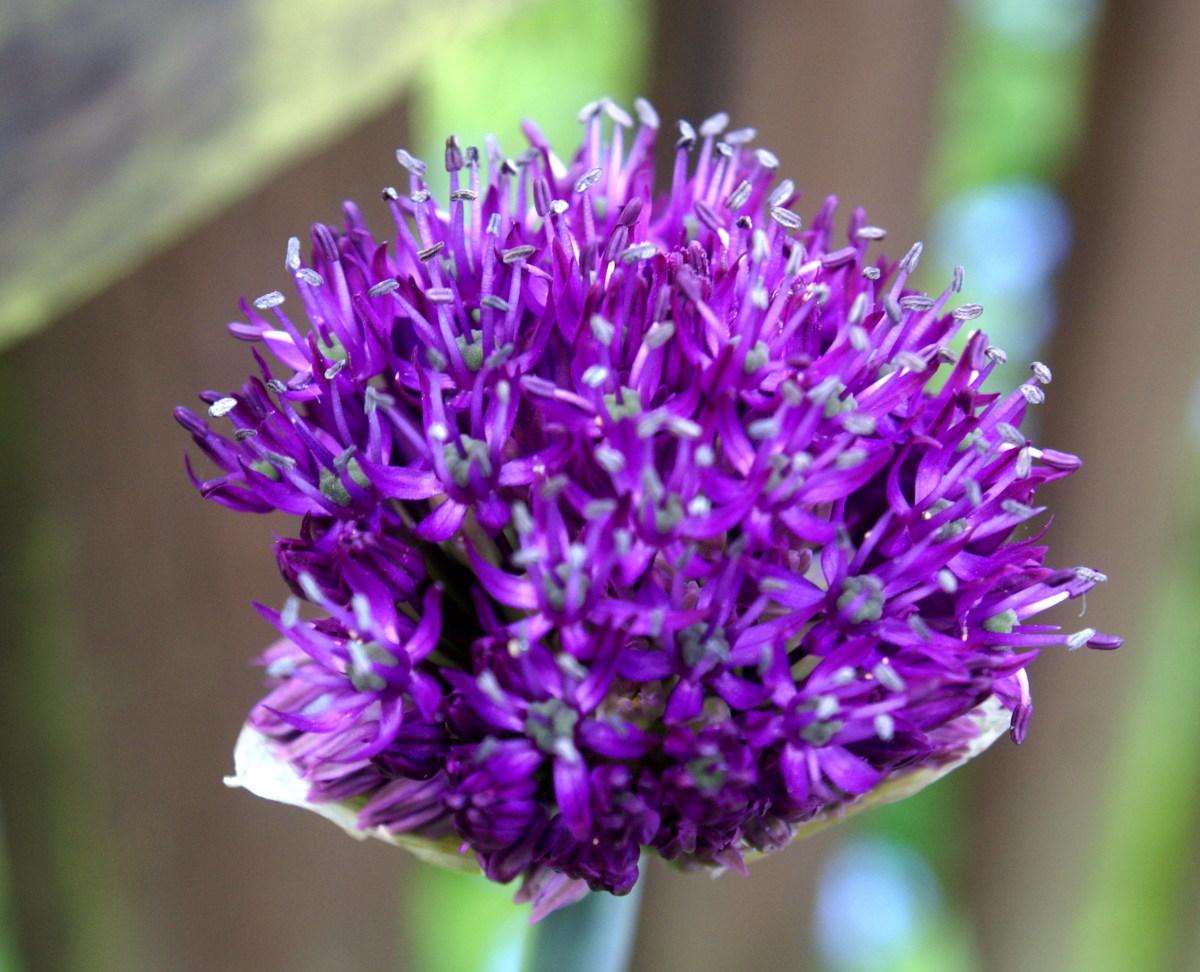 Giant Purple Alium