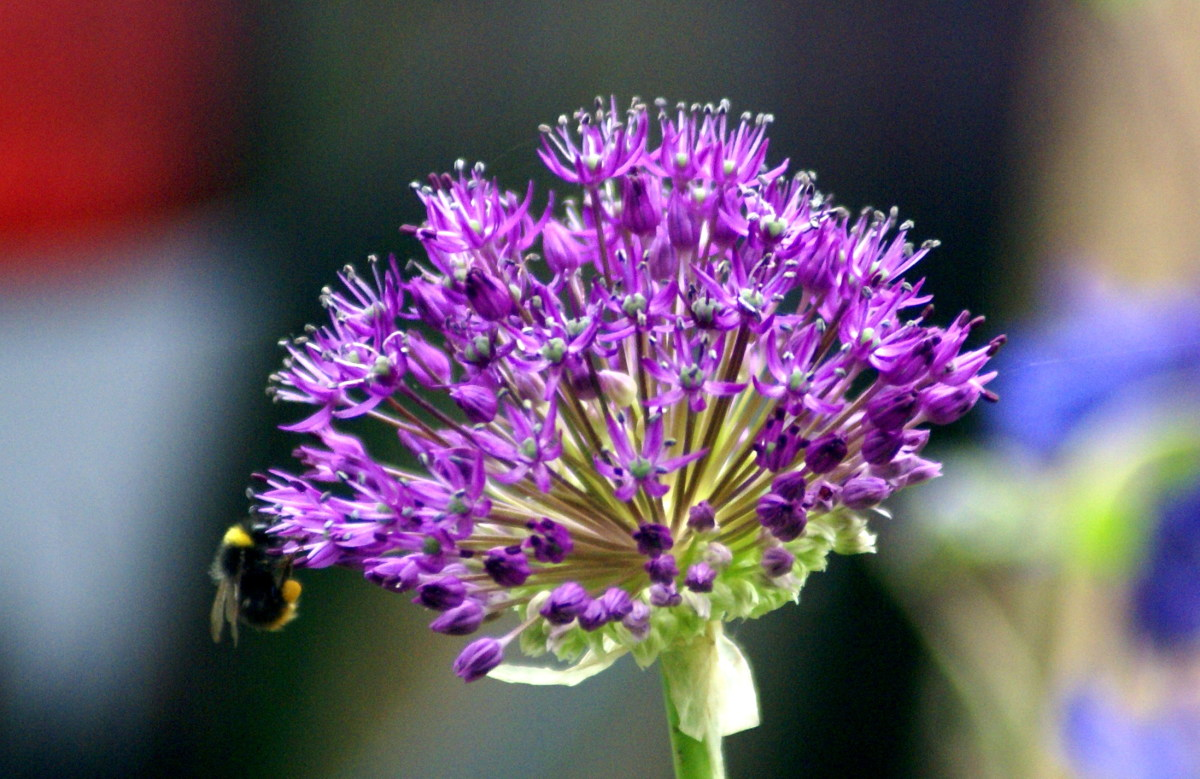 Bumble Bees love the Aliums