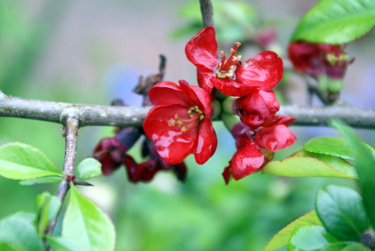 Red Ornamental Quince Blossom
