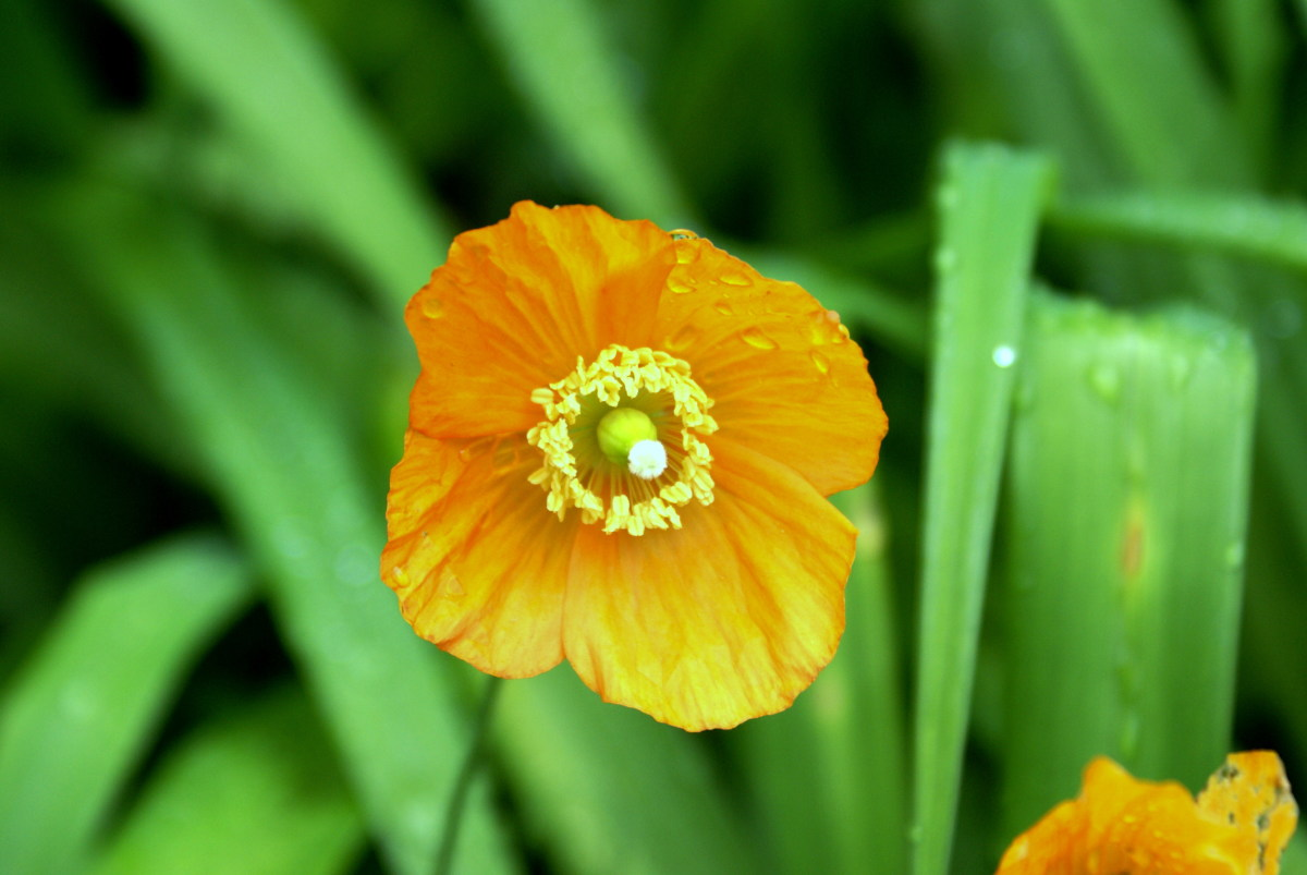 Californian Poppies - one of my favourites