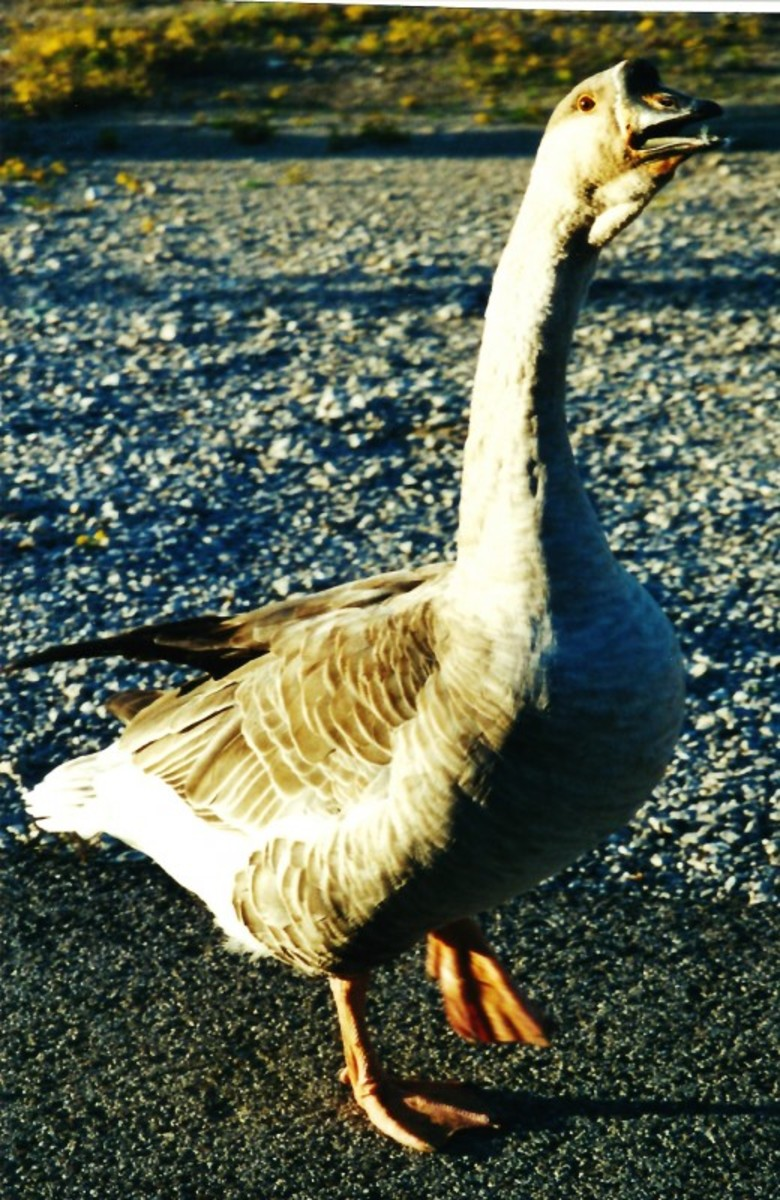 The goose that was scolding us at Lake Murray.