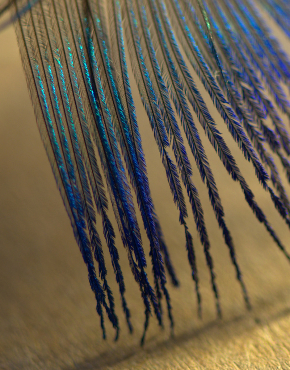 Close-Up of Peacock Feather (1 mm across)