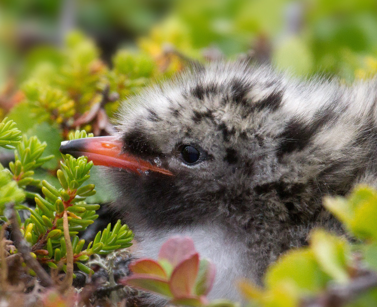 This Arctic Tern chick still has its egg tooth, the small white pointed area close to the tip of its beak.