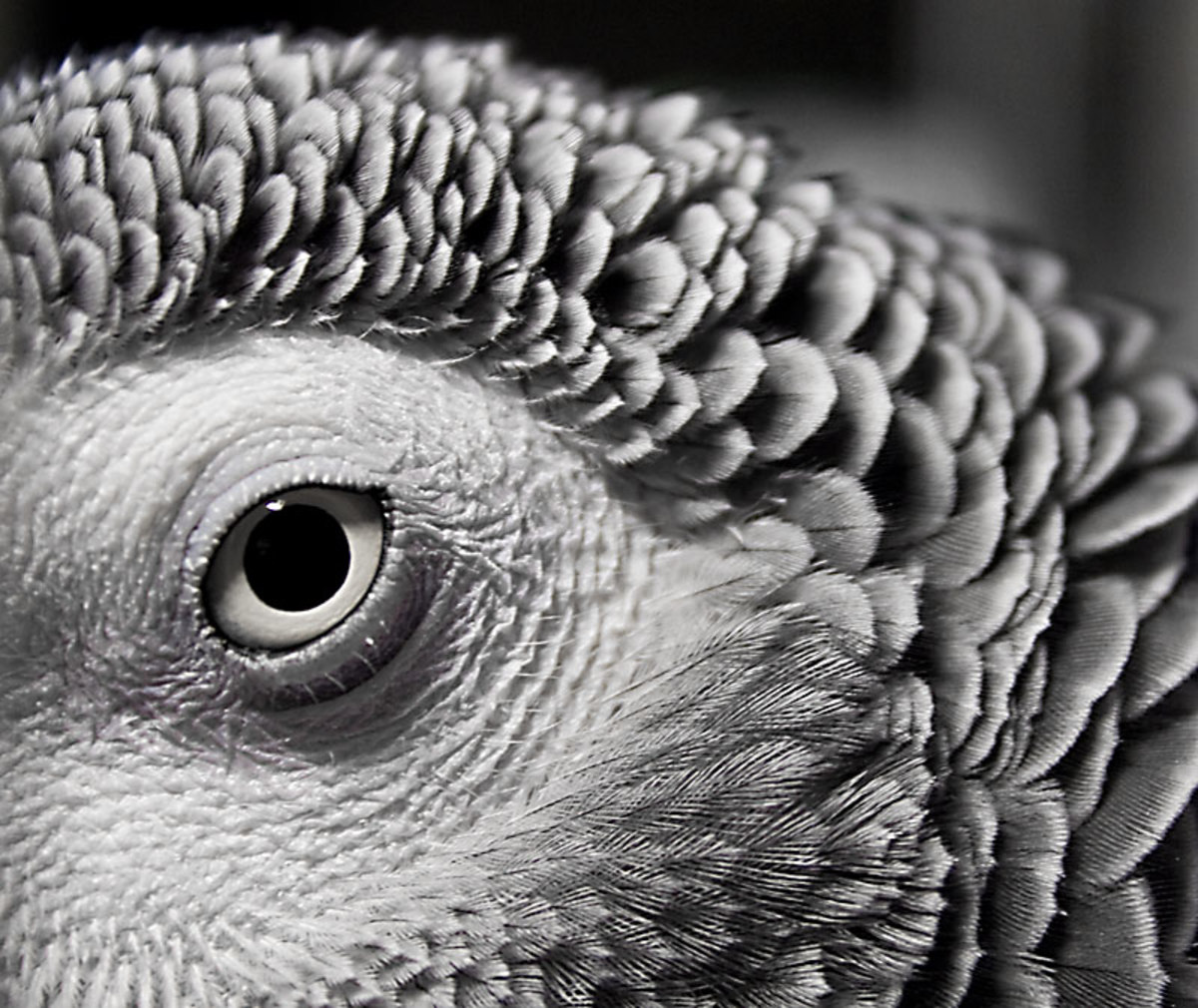 This African Grey Parrot's beauty is enhanced through the use of macrophotography.
