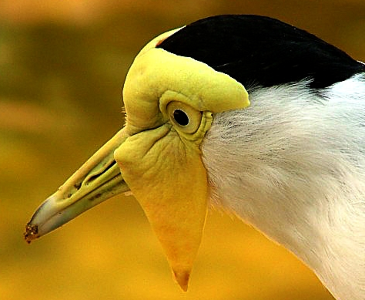 The skin and folds of this bird's wattle is viewed clearly in this image. The details of its beak is made even more interesting when viewed this closely.