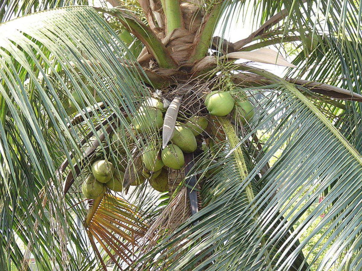 Health Benefits Of Coconut, Coconut Oil, Coconut Milk And Coconut Water
