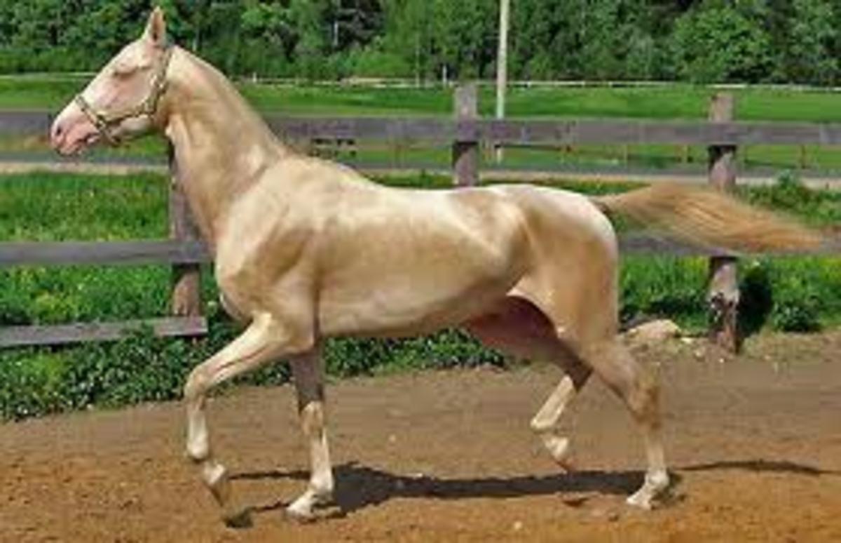 Akhal Teke horse of Turkmenistan