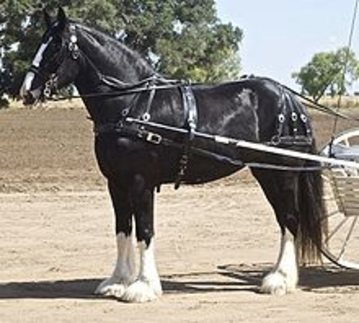 Shire draft horse