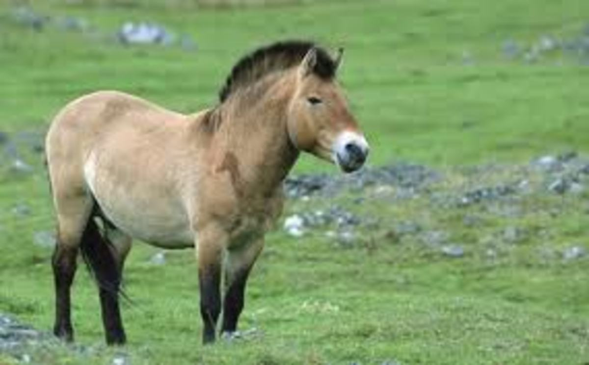 Przewalski Horse of Mongolia