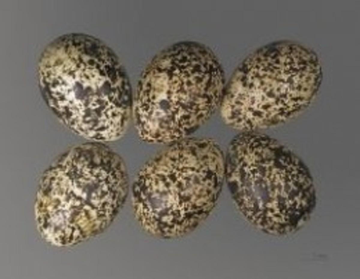Rock ptarmigan eggs