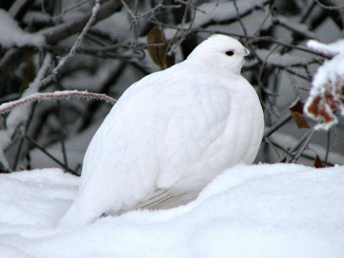 Rock Ptarmigan: Bird of the Tundra