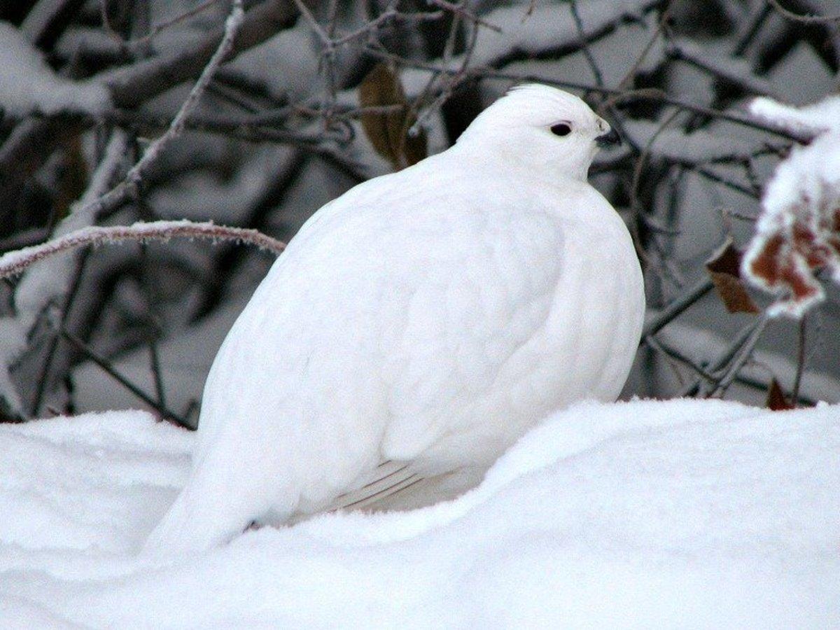 Rock Ptarmigan in white winter plumage