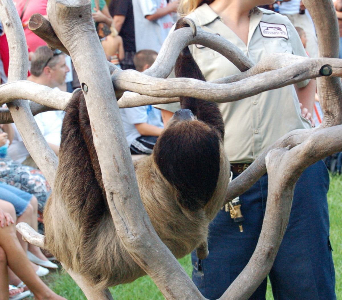 Sloth at Brevard Zoo